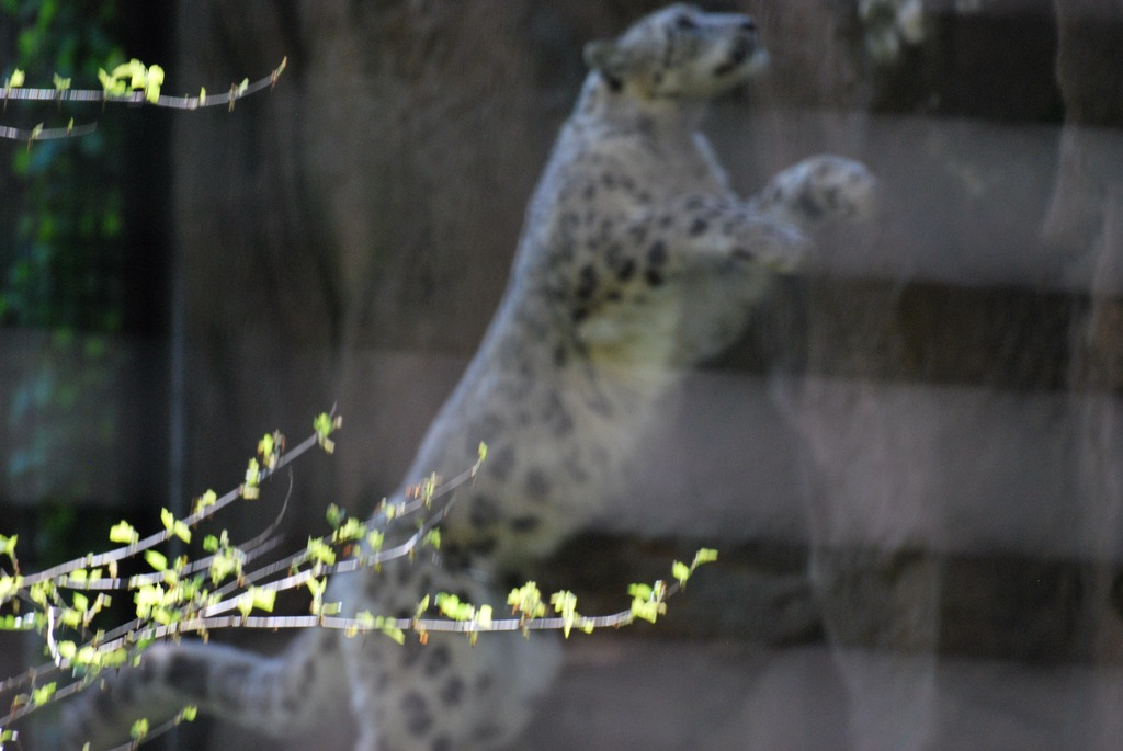 Jumping Leopard